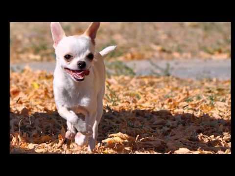 Beautiful photo Chihuahua dog breed