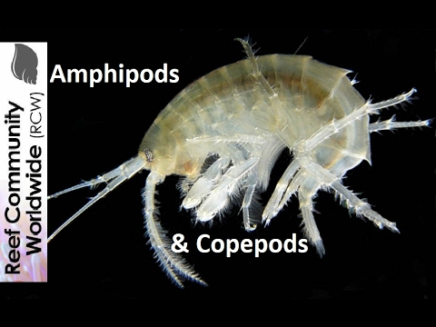 Amphipods And Copepods At Night In Reef Tank