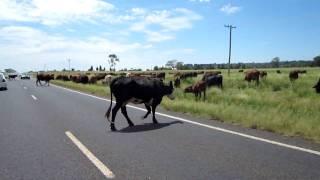 時々道路際で放牧している光景を見かけます。もちろん牛優先です。golde...