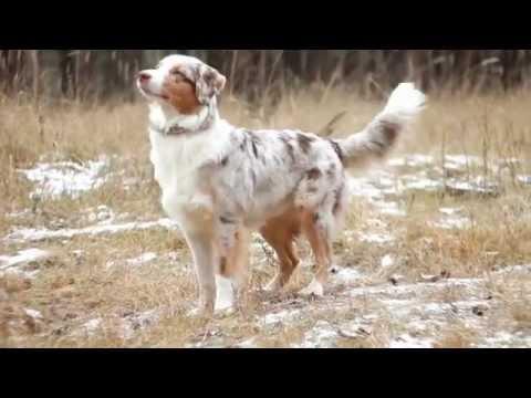 Австралийская Овчарка (Аусси) Фанта