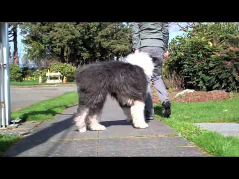 Leadership Walking With Tiffany Old English Sheepdog Youtube