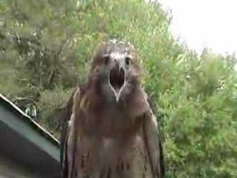 red-tailed hawk screaming