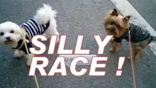 Silly Race [yorkie V.s. Maltese V.s. Me]