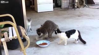 Raccoon Steals Cat Food (voiceover)