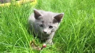 Русские голубые котята гуляют на травке