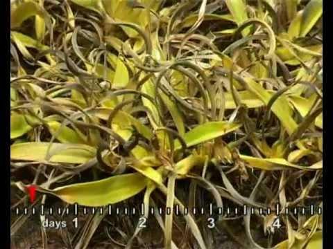 Resurrection Plant Video 1 - Professor Jill Farrant, UCT.