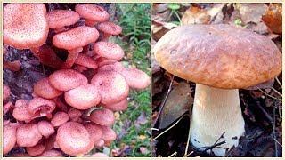 БЕЛЫЕ ГРИБЫ и ОПЯТА | Все деревья усыпаны осенними опятами |  За грибами по новым местам