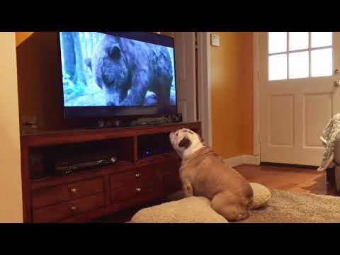Bulldog Tries To Protect Leonardo DiCaprio From Bear Attack