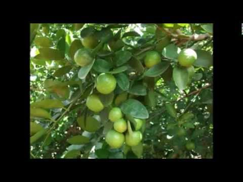 How to plant Lime with Modern technology| Agriculture section|