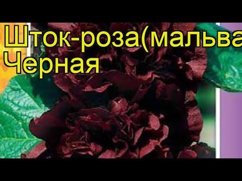Мальва Черная. Краткий обзор, описание характеристик, где купить семена alcea rosea Chernaya