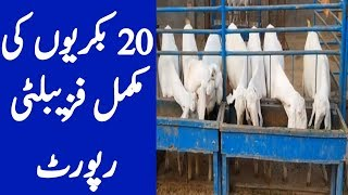 Rajanpuri Goat Farm || How To Make It More Profitable