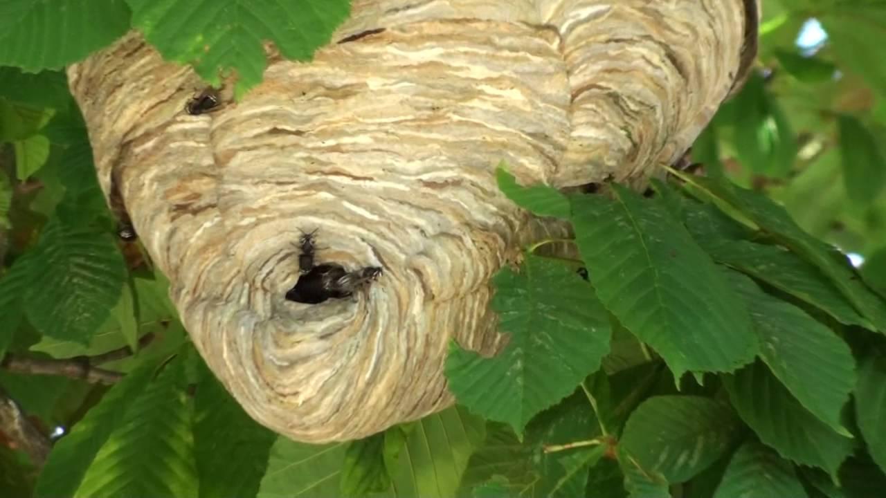 栗子樹上的大蜂巢 - YouTube