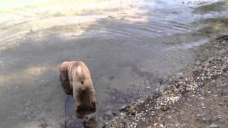 Shar Pei 9 Weeks First Time By Lake