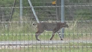 South Texas Bobcat jumping two high fences