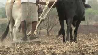Inde : les éleveurs face à la sécheresse (2013)