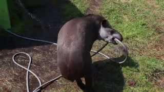 Тапир играет