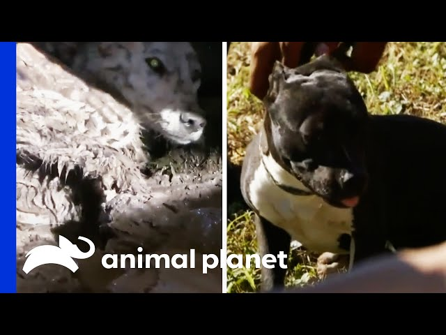 Some Of The Toughest Rescues | Pit Bulls & Parolees | Compilation