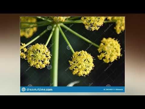 Thapsia (Plant)