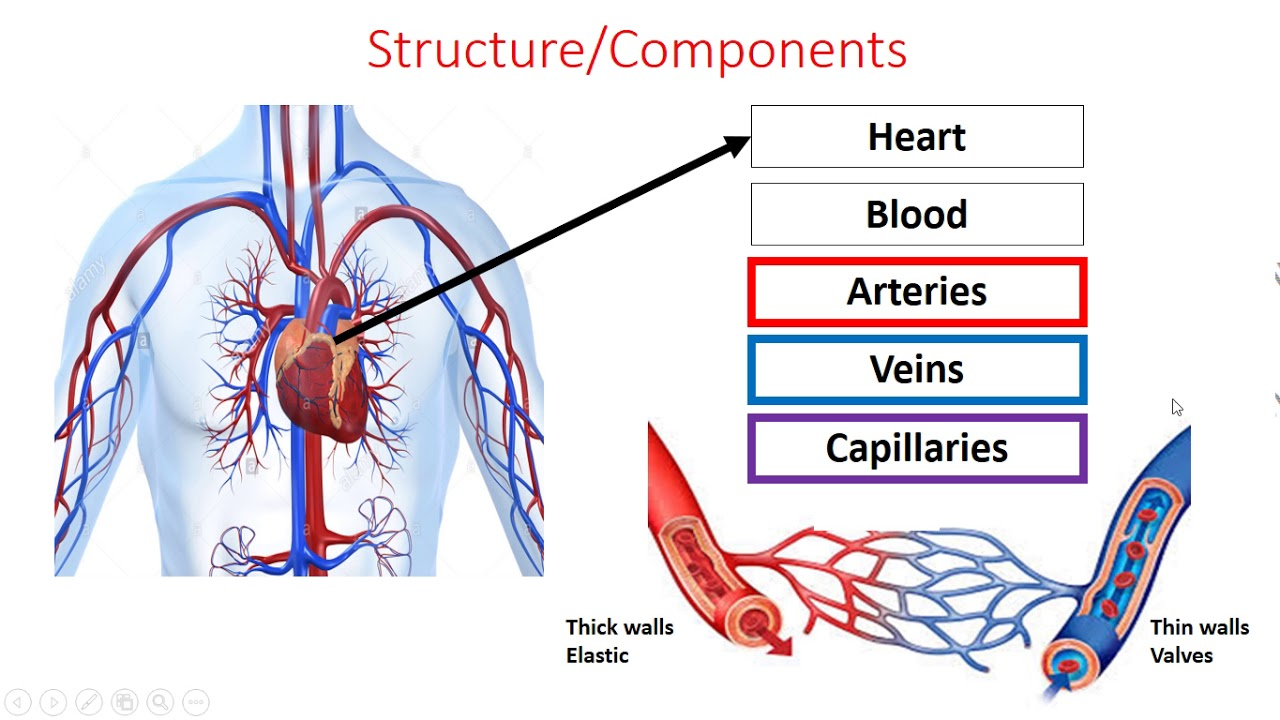 Gcse pe edexcel component 1 cardio respiratory system part 1 gcse pe edexcel component 1 cardio respiratory system part 1 ccuart Gallery