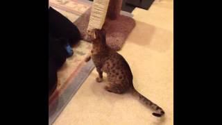 Cooper: An Ocicat Story