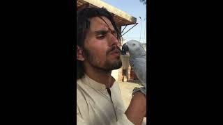 Cheeky Grey Parrot trying to share passionate kiss with Pathan