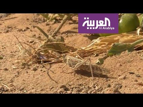صباح العربية | الجراد في مزارع الرياض  - نشر قبل 57 دقيقة