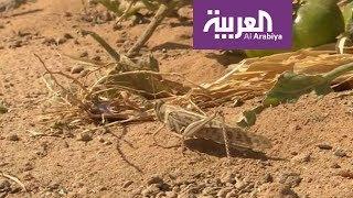 صباح العربية | الجراد في مزارع الرياض