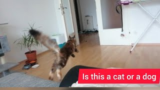 This Maine Coon cat is like a dog