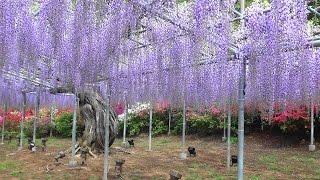 Rich Wisterias at Ashikaga Flower Park.足利フラワーパーク 「藤の花」  2016-4-25