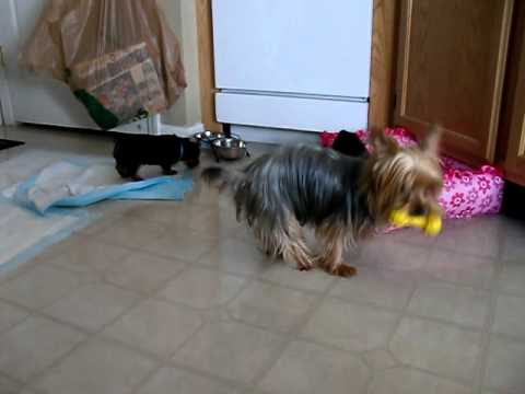Priceless Yorkie Puppy Adorable Yorkie Puppy Play Time With Mom