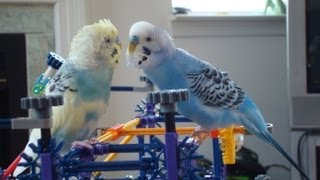 Progress of introducing a new budgie to the talking budgie, Mango
