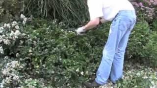 Groundcover/Carpet Roses - Maintenance