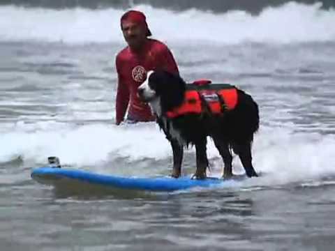 Surf dog competition 2013 best pet movement swept the nation
