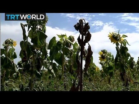 Europe Drought: Farmers warn hot weather will affect harvest
