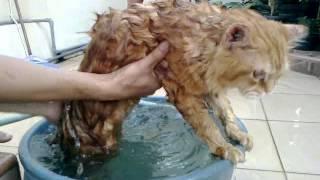 Cara Memandikan Kucing Persia