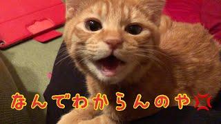 【猫 鳴き声】怒ってる?鳴きまくって何かを訴える子猫!Kitten spree squeal thumbnail
