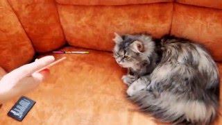 Кошка высовывает язык когда скрепит расчёска