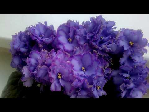 Blue Dradon. My beautiful African Violet.