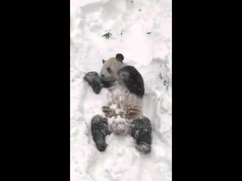 Панда Тян-Тян из Смитсоновского зоопарка проснулась и увидела снег
