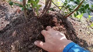 블루베리 재배(물 주는 방법)