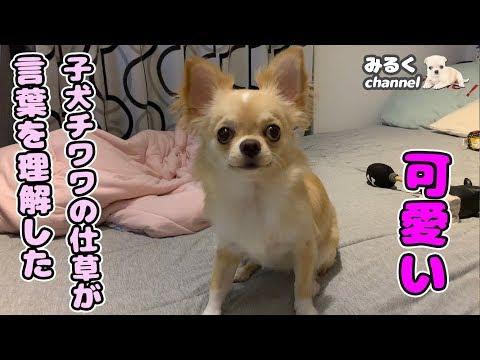 🔴言葉を理解した子犬チワワの仕草がとてつもなく可愛い【可愛い】【癒し】【puppy】