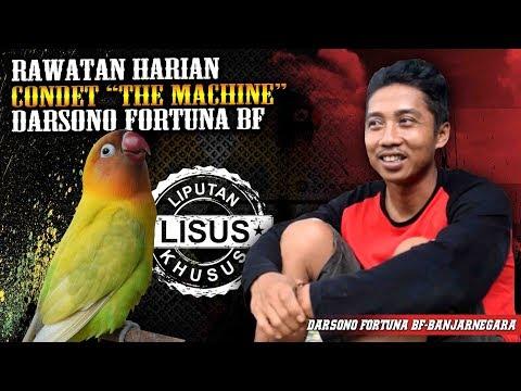 Settingan Harian & Lomba Lovebird Condet