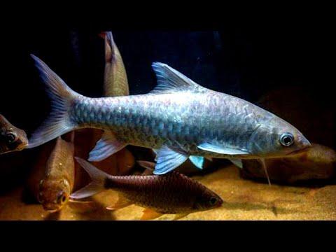 Cara ikan kelah makan