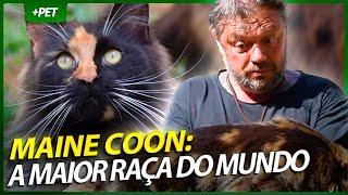 MAINE COON, O MAIOR GATO DO MUNDO! | EP.1 | CRIAÇÃO E CRIADOR