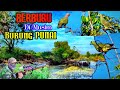 Berburu Di Musim Burung Punai Sangat Melimpah Green Pigeon Hunting  Mp3 - Mp4 Download