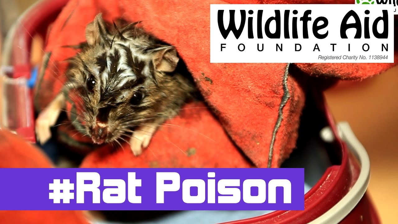 How To Prevent the Plague of 'MUTANT Super Rats'