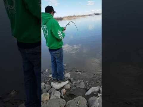 South Saskatchewan river sturgeon