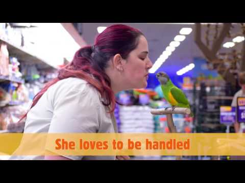 Meet Mango the Senegal Parrot