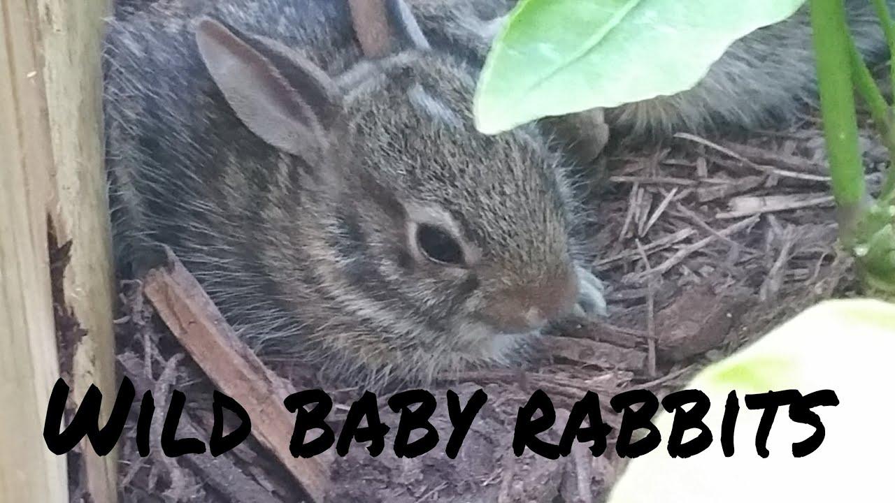 Wild baby rabbits in my yard - update 4 - YouTube