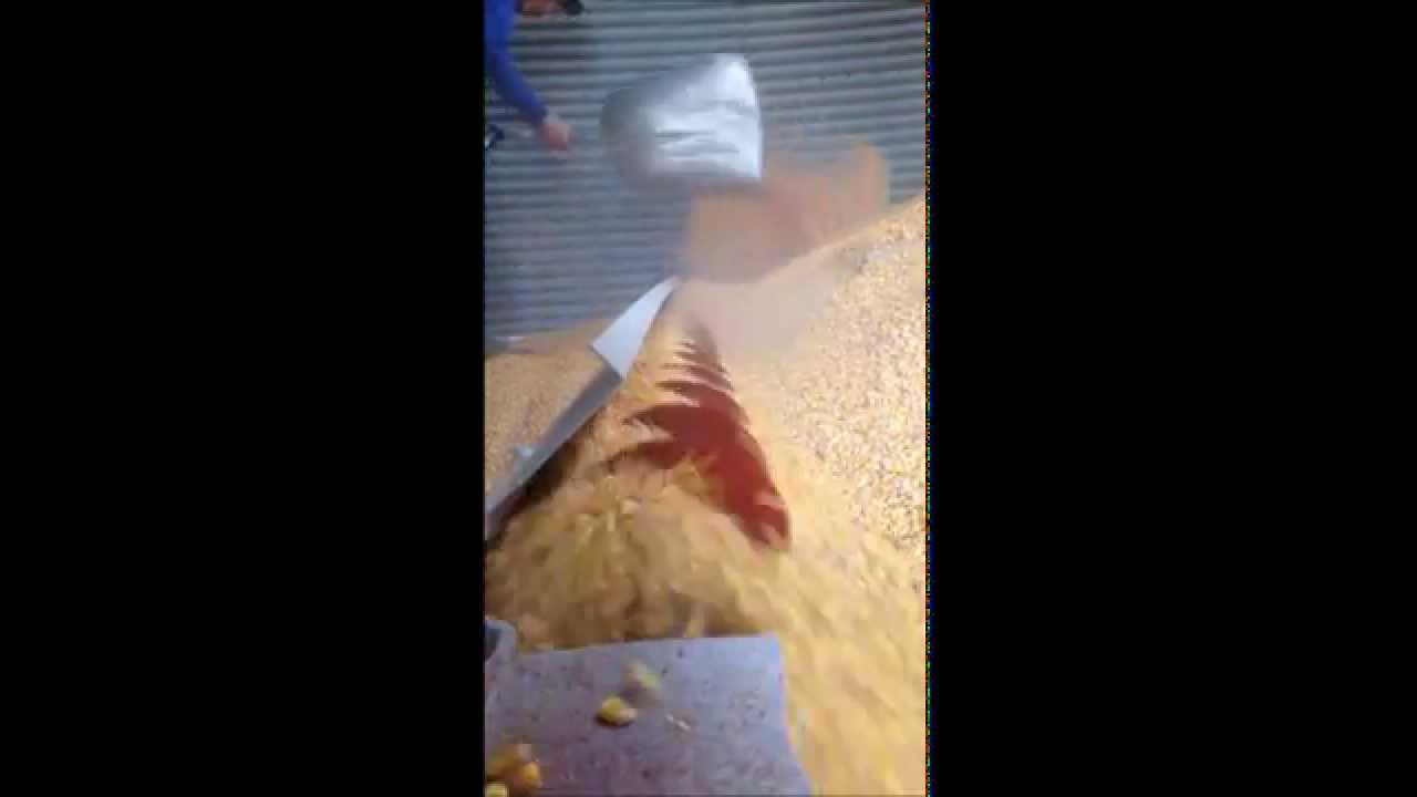 The Sweep Auger at Work Inside a Grain Bin
